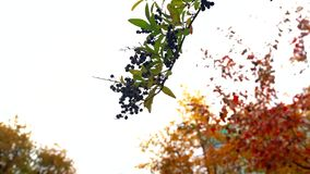 Зеленые листья и черные спелые ягоды черной черной черники на ветке качутся под ветром осеннего неба сток-видео