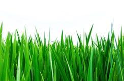 Зеленые листья калама, раскрывают верхние, вертикальные grained, белые листья предпосылки стоковое изображение rf