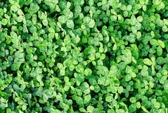Зеленые листья клевера Стоковая Фотография RF