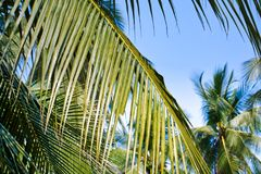 Зеленые листья кокосовой пальмы против голубого неба Стоковое фото RF
