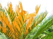 Зеленые листья ладони в мягком свете Естественная предпосылка тропического завода Стоковое Изображение RF