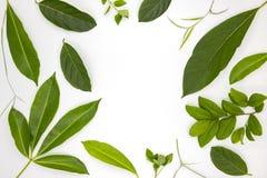 Зеленые листья лета на белой предпосылке Зеленое фото взгляд сверху лист Тропическая рамка листвы деревьев с космосом экземпляра Стоковые Изображения