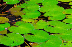 Зеленые листья лотоса Стоковые Фотографии RF