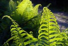 Зеленые листья папоротника в солнечном свете Стоковое Изображение RF