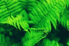 Зеленые листья папоротника стоковое фото