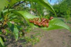 Зеленые листья персика которые растут в саде стоковое изображение