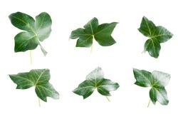 зеленые листья плюща Стоковые Изображения RF