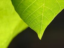 зеленые листья прозрачные Стоковые Фотографии RF