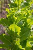 Зеленые листья салата в природе стоковые изображения
