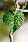 зеленые листья сердца стоковое фото
