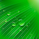 Зеленые листья с падениями воды Стоковая Фотография