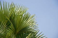Зеленые листья фото пальмы уникального стоковая фотография