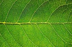 зеленые листья Стоковые Изображения