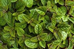 Зеленые листья Стоковая Фотография