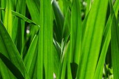 Зеленые листья 4685 gladiolus Стоковое Изображение