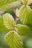 зеленые листья hoarfrost стоковое фото