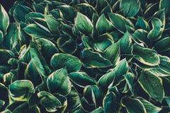 зеленые листья hosta Стоковое Изображение