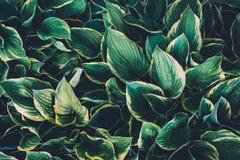 зеленые листья hosta Стоковое Изображение RF