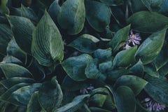 зеленые листья hosta Стоковая Фотография RF