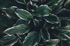 зеленые листья hosta Стоковое фото RF
