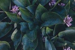 зеленые листья hosta Стоковая Фотография