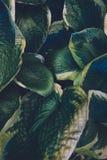 зеленые листья hosta Стоковые Изображения