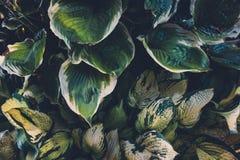 зеленые листья hosta Стоковые Фотографии RF