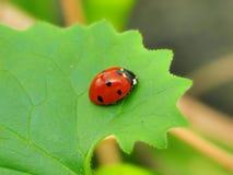 зеленые листья ladybug Стоковое Изображение RF