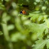 зеленые листья ladybug Стоковая Фотография