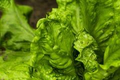Зеленые листья salat стоковые фото