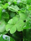 Зеленые листья shamrock с капельками воды Стоковая Фотография RF