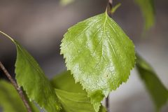 Зеленые лист березы вполне детальных вен Стоковое Изображение