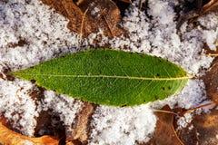 Зеленые лист в крупном плане снега стоковые фотографии rf