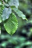 Зеленые лист в падениях дождя Стоковое Изображение RF