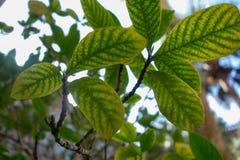 Зеленые лист дерева в Августине Блаженном, Флориде Стоковая Фотография