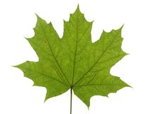 Зеленые лист дерева клена изолированного на белой предпосылке Стоковые Изображения
