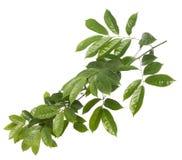 Зеленые лист изолированные на предпосылке whith Стоковое фото RF