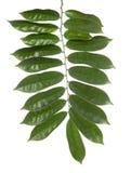 Зеленые лист изолированные на предпосылке whith Стоковые Изображения