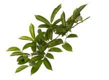 Зеленые лист изолированные на предпосылке whith Стоковое Фото