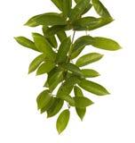 Зеленые лист изолированные на предпосылке whith Стоковое Изображение RF