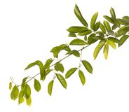Зеленые лист изолированные на предпосылке whith Стоковая Фотография RF