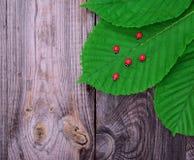 Зеленые лист каштана и красных ladybugs Стоковая Фотография
