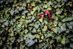 Зеленые лист красного цвета лист Стоковое Изображение