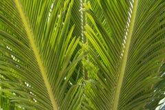 Зеленые лист пальмы листья ладони стоковое изображение