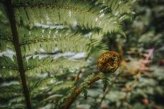 Зеленые лист папоротника с молодым всходом стоковое фото