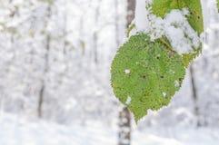 Зеленые лист покрытые с снегом на ветви с лесом нерезкости Стоковые Фото