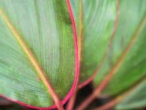Зеленые лист при красный аранжированный край стоковая фотография