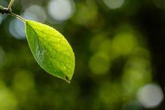 Зеленые лист сливы сливы Стоковые Изображения