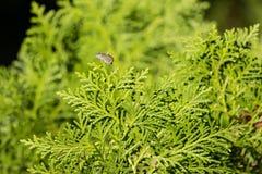 Зеленые лист сосны стоковые изображения rf