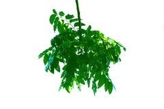 Зеленые лист стиля дерева Neem и изолированные на белой предпосылке стоковые фотографии rf